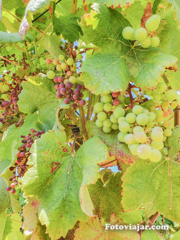 uvas alentejo